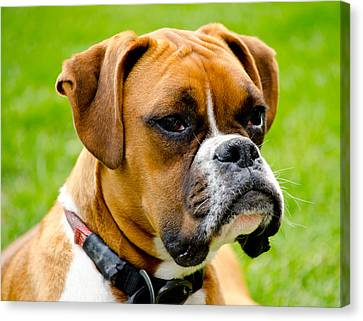 Sidney The Boxer Canvas Print by Chris Thaxter