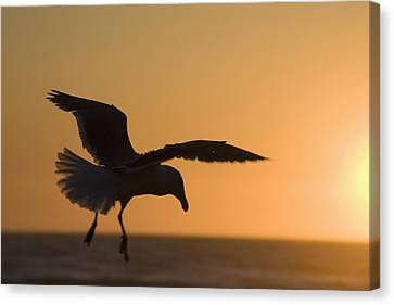 Silhouette Of A Seagull In Flight At Canvas Print by Michael Interisano