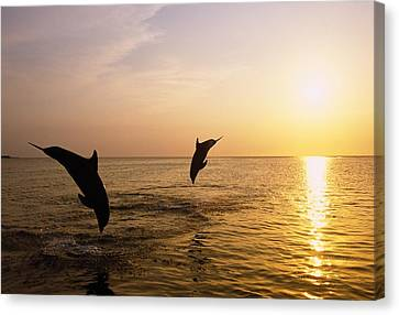 Silhouette Of Bottlenose Dolphins Canvas Print by Natural Selection Craig Tuttle