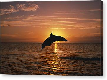 Silhouette Of Leaping Bottlenose Canvas Print by Natural Selection Craig Tuttle
