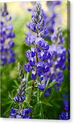 Silver Lupine Colorado Mountain Meadow Canvas Print by The Forests Edge Photography - Diane Sandoval