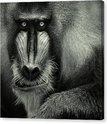 Singapore Zoo, Mandrill Canvas Print by By Toonman