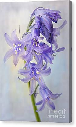 Single Bluebell Canvas Print by Ann Garrett