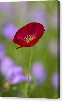 Single Red Poppy  Canvas Print by Saija  Lehtonen