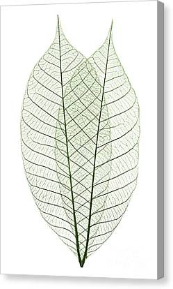 Skeleton Leaves Canvas Print by Elena Elisseeva