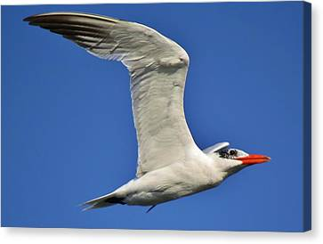 Skimmer In Flight Canvas Print by Paulette Thomas