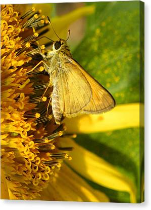 Skipper And Sunflower Canvas Print by Sandi OReilly