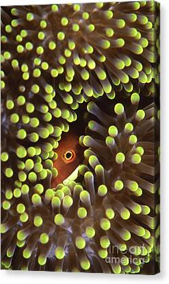 Skunk Clownfish Hiding In Anemone Canvas Print by Beverly Factor