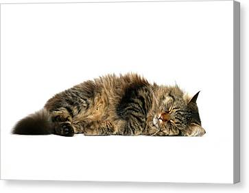 Sleeping Cat Canvas Print by © Nico Piotto