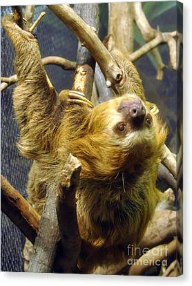 Sloth Looking Back Canvas Print by Anne Ferguson
