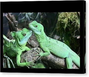 Small Iguanas Stirnlappenba Canvas Print by Rolf Bach