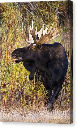 Smiling Bull Moose Canvas Print by Mike Cavaroc