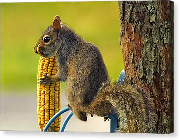Snaggletooth Squirrel With Corn Canvas Print by Bill Tiepelman