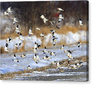 Snow Buntings Canvas Print by Tony Beck