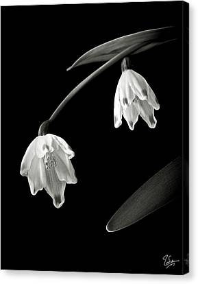 Snow Drops In Black And White Canvas Print by Endre Balogh