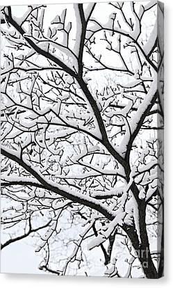 Snowy Branch Canvas Print by Elena Elisseeva