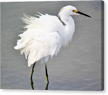 Snowy Egret All Fluffed Up Canvas Print by Paulette Thomas