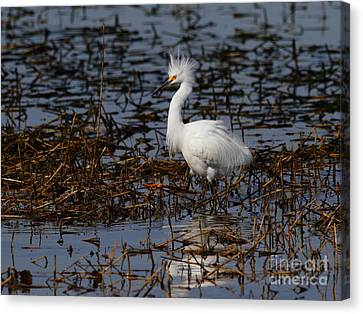 Snowy Egret . Solitude . 7d11963 Canvas Print by Wingsdomain Art and Photography