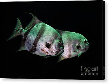 Something Fishy This Way Comes Canvas Print by Lois Bryan