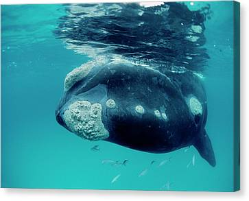Southern Right Whale Eubalaena Canvas Print by Mike Parry