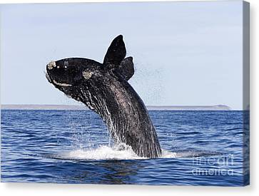 Southern Right Whale Canvas Print by Francois Gohier and Photo Researchers