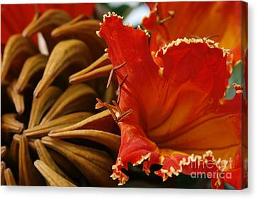 Spathodea Campanulata - African Tulip Tree - Flame Of The Forest Canvas Print by Sharon Mau