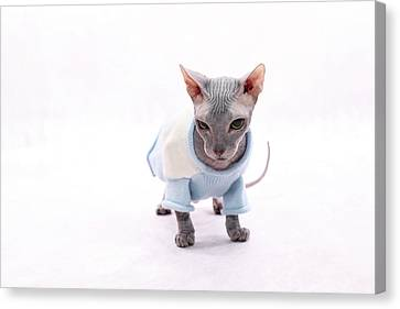 Sphynx Hairless Cat. Canvas Print by With love of photography