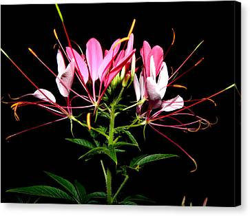 Spider Flower  Canvas Print by Kim Galluzzo Wozniak