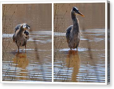 Spin And Fluff Dry Heron - C3219d Canvas Print by Paul Lyndon Phillips