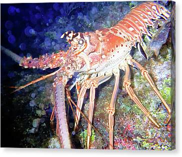 Spiney Lobster Canvas Print by Barry Jones