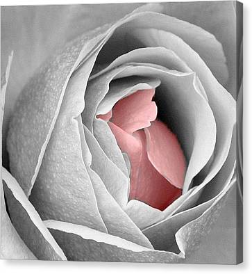 Splash Of Pink Canvas Print by Carrie OBrien Sibley