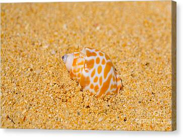 Spotted Babylon Shell Canvas Print by Cheryl Young