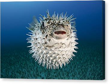 Spotted Porcupinefish IIi Canvas Print by Dave Fleetham