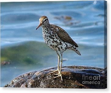 Spotted Sand Piper 6 Canvas Print by Andrea Kollo