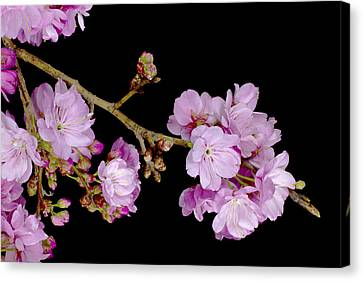 Spring Cherry Blossoms 2 Canvas Print by Barnaby Chambers