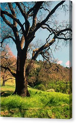 Spring Oak Canvas Print by Kathy Yates