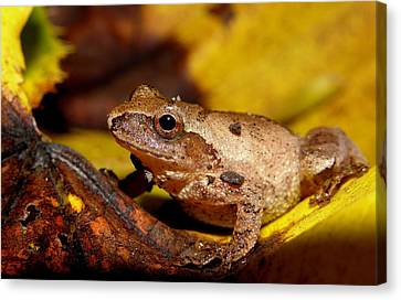 Spring Peeper On Fall Leaves Canvas Print by Griffin Harris
