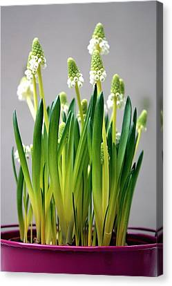 Spring White Flowers Canvas Print by © Fanny BETEMPS - 2010