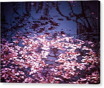 Spring's Embers - Cherry Blossom Petals On The Surface Of A Pond Canvas Print by Vivienne Gucwa