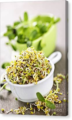 Sprouts In Cups Canvas Print by Elena Elisseeva
