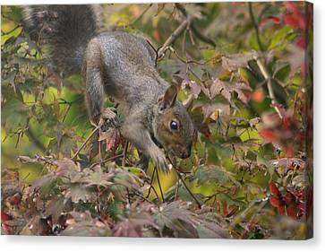 Squirrel In Fall Canvas Print by Valia Bradshaw