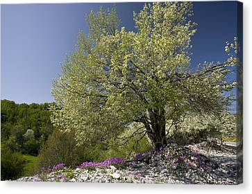 St Lucie Cherry Tree (prunus Mahaleb) Canvas Print by Bob Gibbons