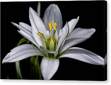 Star Of Bethlehem Canvas Print by Lori Coleman