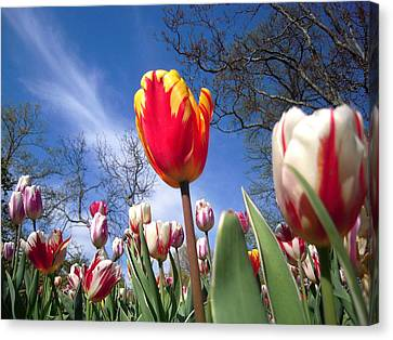 Strato Cirrus Clouds Greet The Tulips  Canvas Print by Don Struke