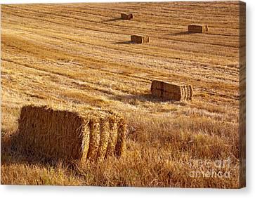 Straw Field Canvas Print by Carlos Caetano