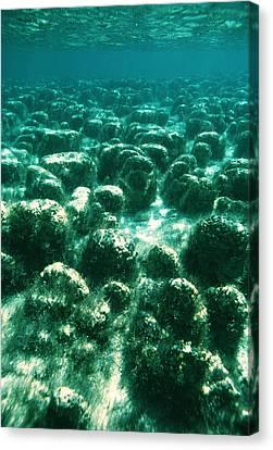 Stromatolites Canvas Print by Peter Scoones