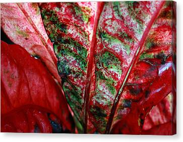 Study Of The Croton 2 Canvas Print by Jennifer Bright