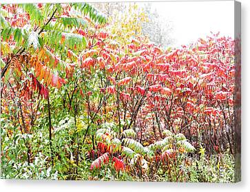 Sumac And Snow Along The Highland Scenic Highway Canvas Print by Thomas R Fletcher