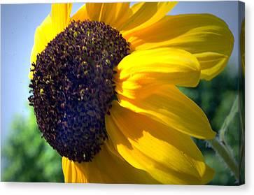 Sun Flower Canvas Print by Cheryl Cencich
