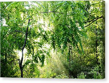 Sun Rays Through Black Walnut Leaves Canvas Print by Thomas R Fletcher